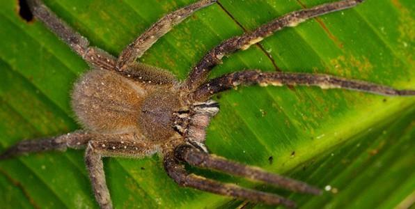 Du venin d'araignée pour traiter les troubles de l'érection
