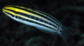 venin poisson blennie antidouleur anesthésiant analgésique