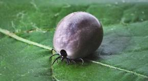 maladie de Lyme borreliose borrelia maladie bactérie dépistage