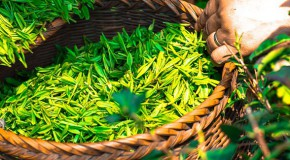 antibiorésistance antibiotiques bactéries thé vert