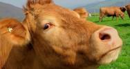 VIH sida vaccin vache bovin médicament santé maladie