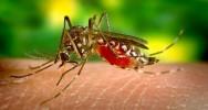 dengue zika cas autochtones moustique tigre